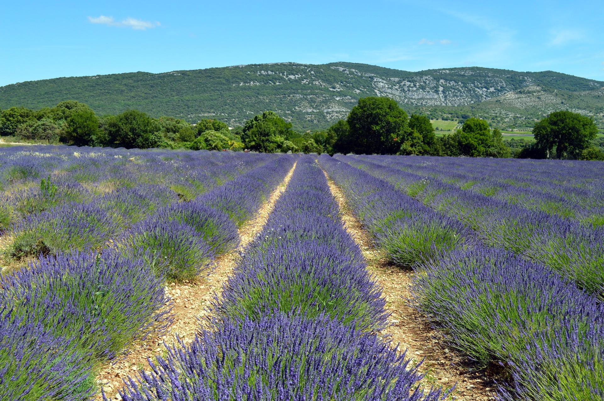 lavender-1482911_1920
